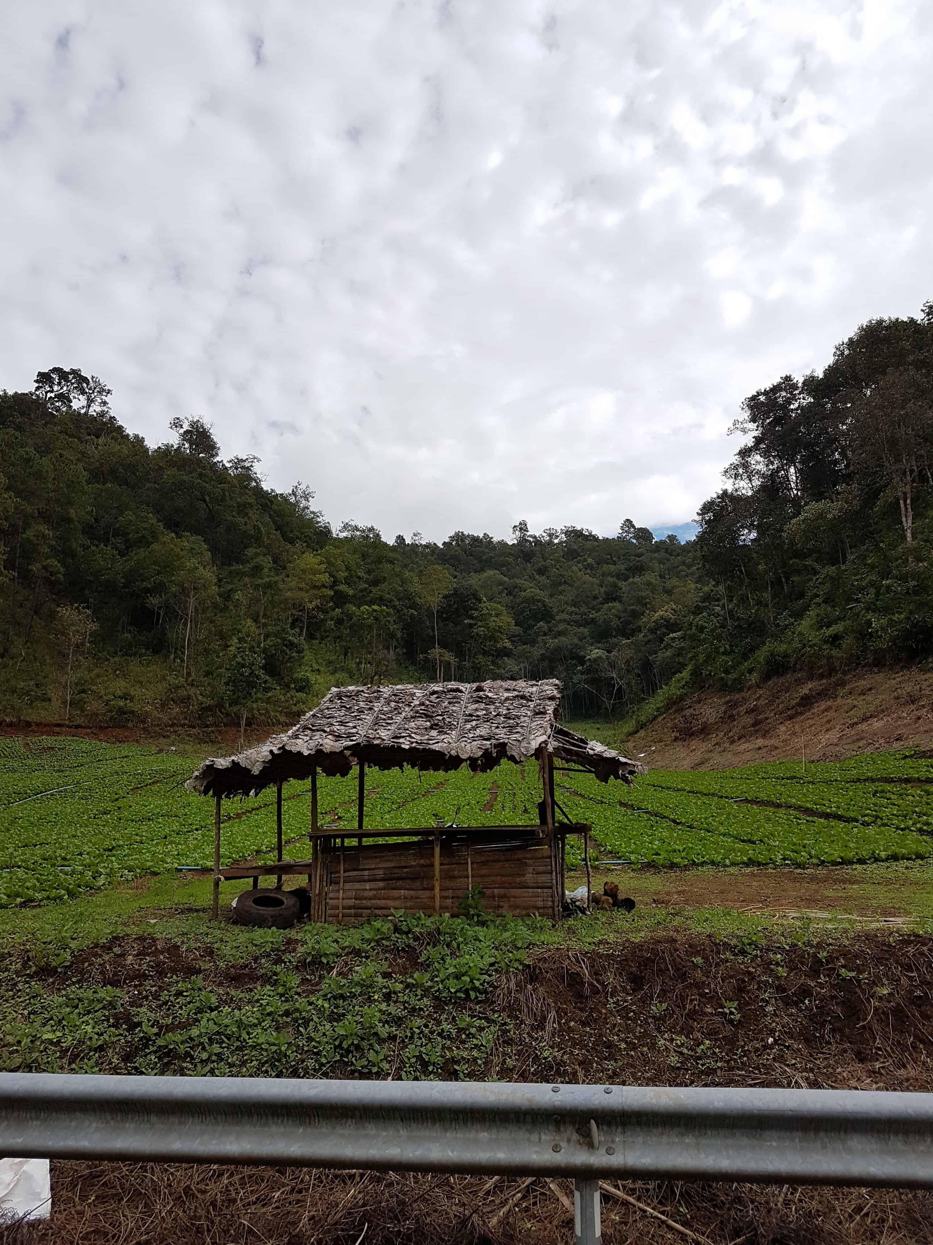 Thaïlande, le Chinese Village et ses cultures de thé 🏯 2