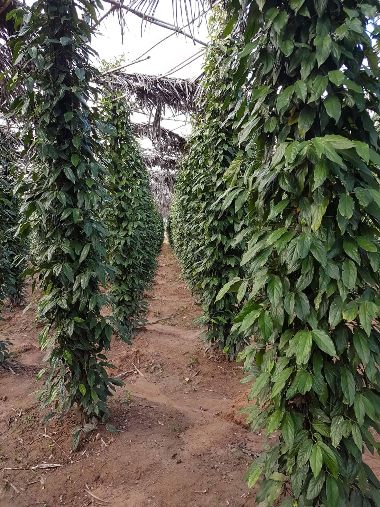 Cambodge, découverte du célèbre poivre de Kampot 🌶 13